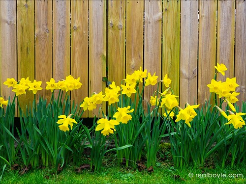 Daffodils-2019 | by Real Group Photos