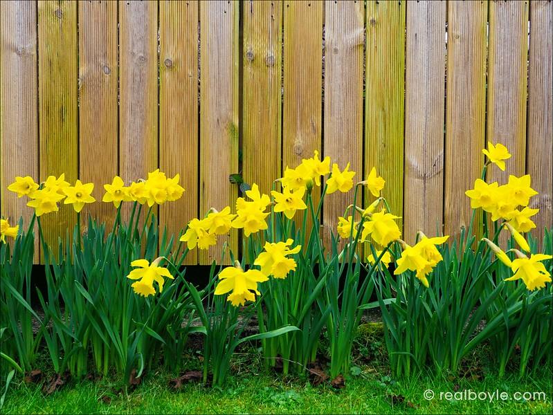 Daffodils-2019