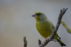 Verdier d'Europe - Verdièr comun - European Greenfinch - Chloris chloris