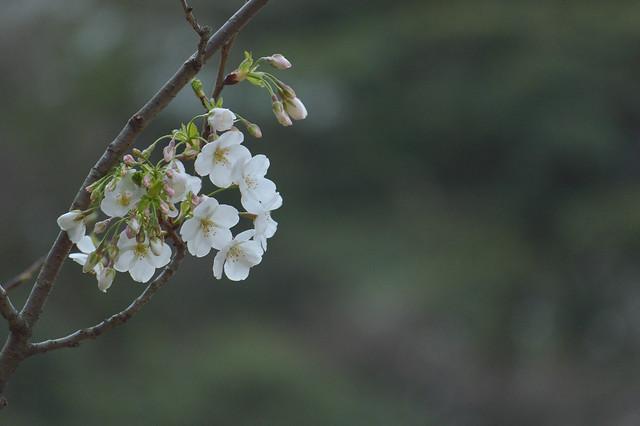 オオシマザクラ