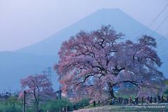 9山梨の桜 (19.4.6) (125)