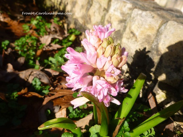 January in the Garden at FromMyCarolinaHome.com