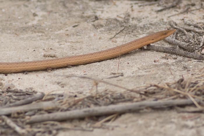 snake or legless lizard