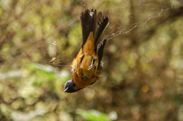 鳥之輓歌 9
