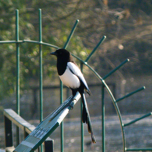Magpie on information board, West Park