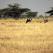 Cheetahs hunting Thomson's gazelle, Piaya in the Serengeti, Tanzania