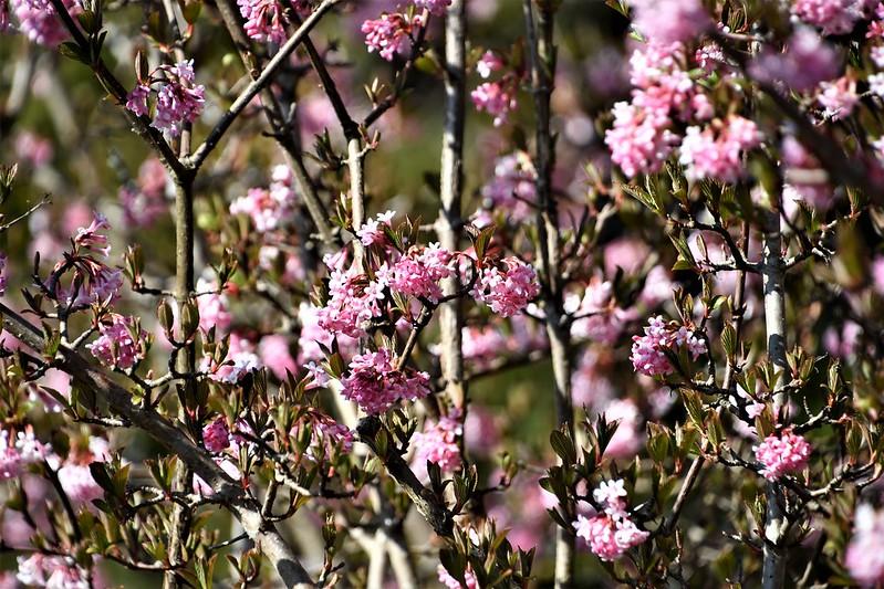 Cherry Blossom 28.03 (1)