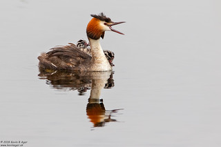 Great Crested Grebe, Podiceps cristatus