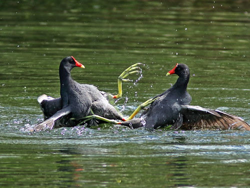Common Gallinules mix it up 07-20190308