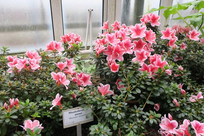 """Rhododendron simsii """"Mevrouw Gerard Kint"""""""