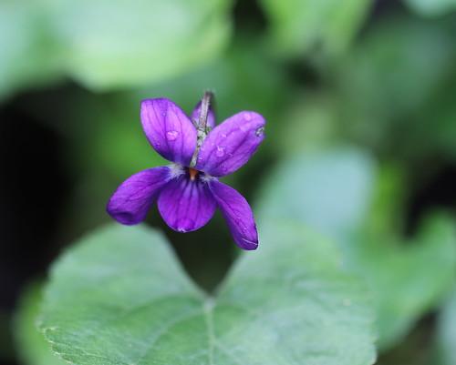 Fran's Violet - EXPLORE #258, 01.31.19.