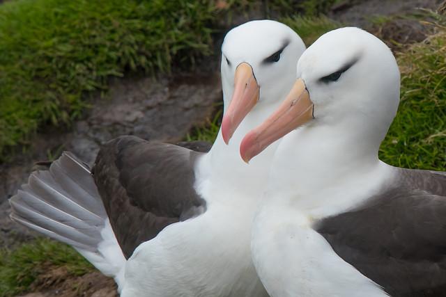 Albatross couple