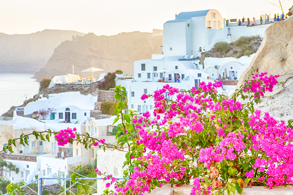 Romantic Destination. Lots of Flowers in front of Picturesque Cityscape of Oia Village on Santorini Island with Volcanic Caldera On Background Before Sunset