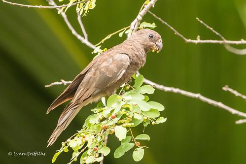Seychelles Black Parrot - Status - threatened D85_8166.jpg