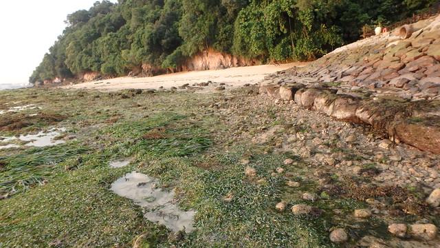 Tape seagrass (Enhalus acoroides) and Sickle seagrass (Thalassia hemprichii)