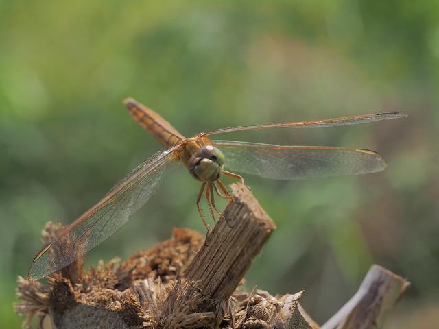 Smiling dragonfly, Olympus E-M1, Olympus Zuiko Digital ED 12-60mm F2.8-4.0 SWD