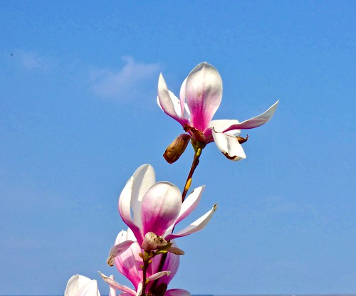 Magnolia flowers .