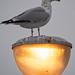 grey day herring gull