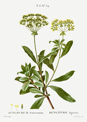 Shrubby hare's-ear (Bupleurum fruticosum) illustration from Trai