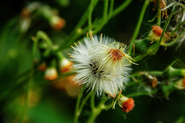 白花藿香薊
