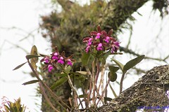 Cattleya tigrina (Cattleya leopoldii) no habitat