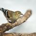 Goldfinch-49099.jpg