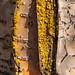birchbark and lichen