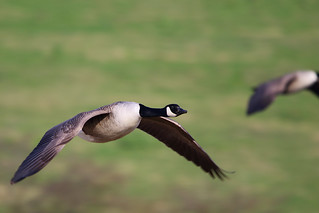 Canada Goose | by Paul Marfell