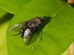 Calliphora vicina - Photo of Alençon
