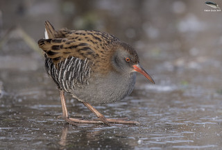 Water Rail On Ice | by Mick Erwin