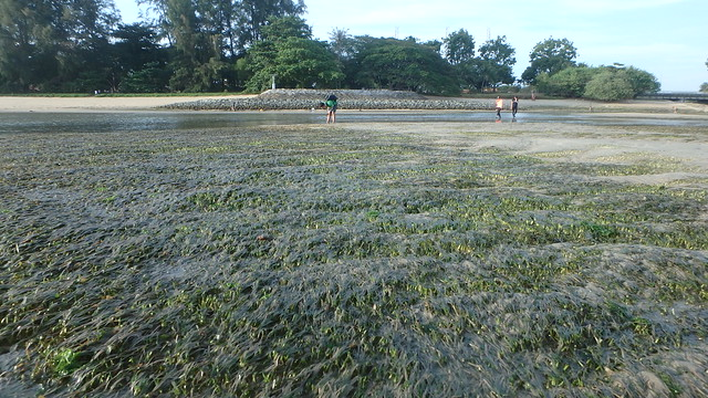 Seagrass meadows at East Coast Park