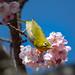 Mejiro and Sakura by shinichiro*