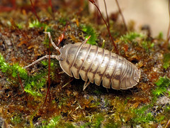 Nosy Pillbug