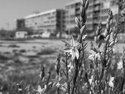 Flores silvestres, Gamoncillo (Asphodellus)