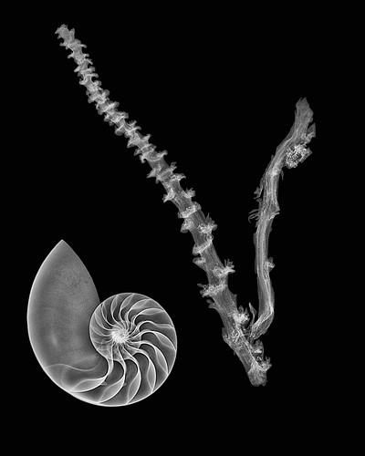 Nautilus shell digital fusion X-ray photo
