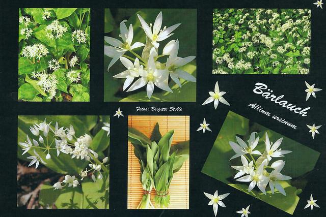 Es ist Bärlauchzeit ... Bärlauch (Allium ursinum) ... Fotos: Brigitte Stolle
