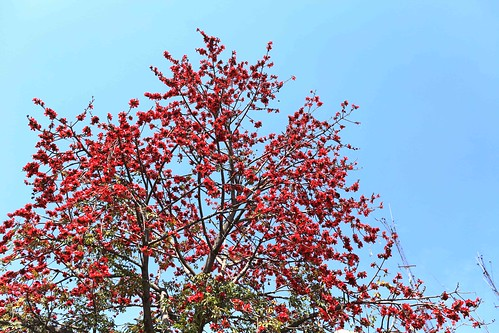 City Season - Semal Trees in Spring Bloom, Around Town