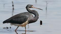 Tricolored Heron- Anclote Gulf Park