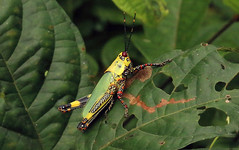 Variegated grasshopper or harlequin locust, Nsuta Forest Reserve in Ghana
