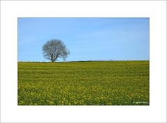 Colzas... - Photo of Gauchin-Verloingt