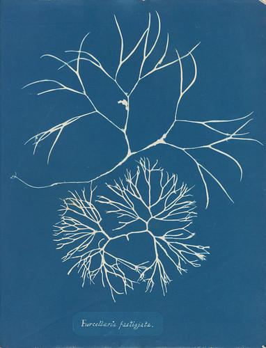 4-Atkins-Furcellaria-fastigiata