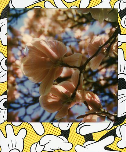 Magnolias ...