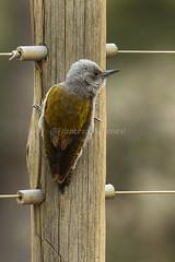 Gray Woodpecker - Naivasha - Kenya CD5A5744
