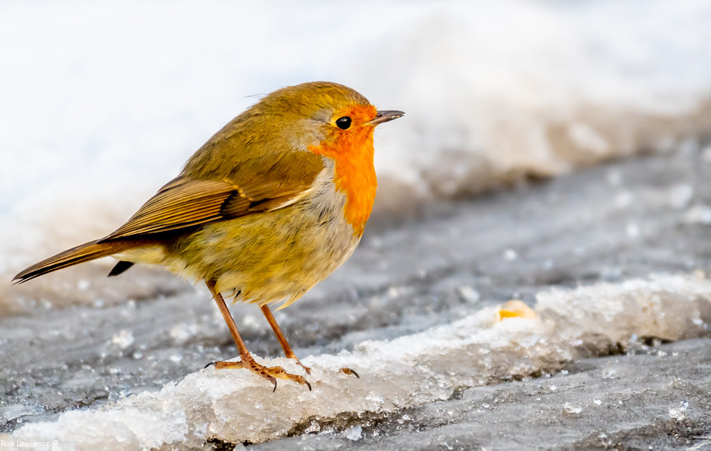 Mr Robin with all his Feathers Puffed out keeping warm