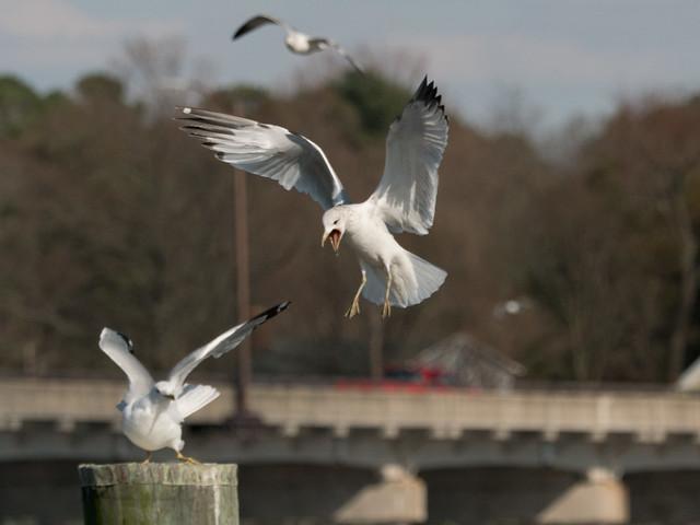 Attacking Gull