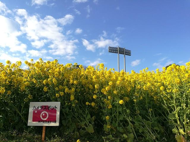 Photo:鮮やかな菜の花の「カメラスポット」に来ました。😆 By mah_japan