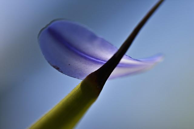 Agapanthus One Single Petal