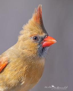 Cardinal portait