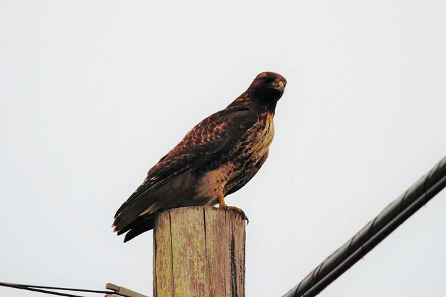Glaring Hawk