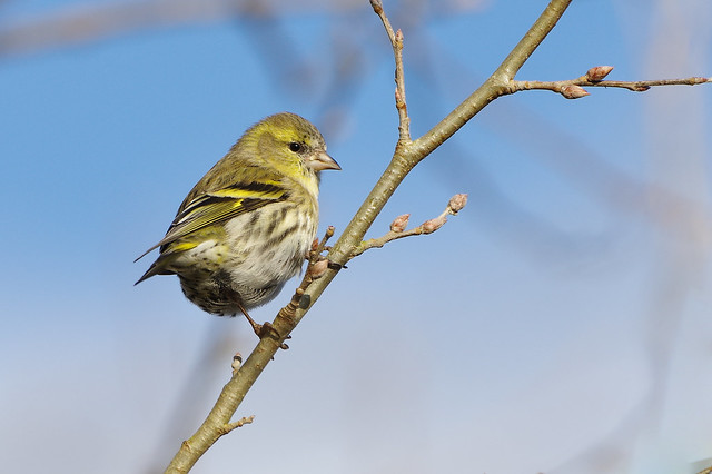 K32P9146c Siskin, Lackford Lakes, January 2019